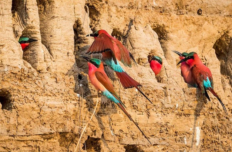 Passive Animal RFID tag monitor nest in carmine bee‐eater